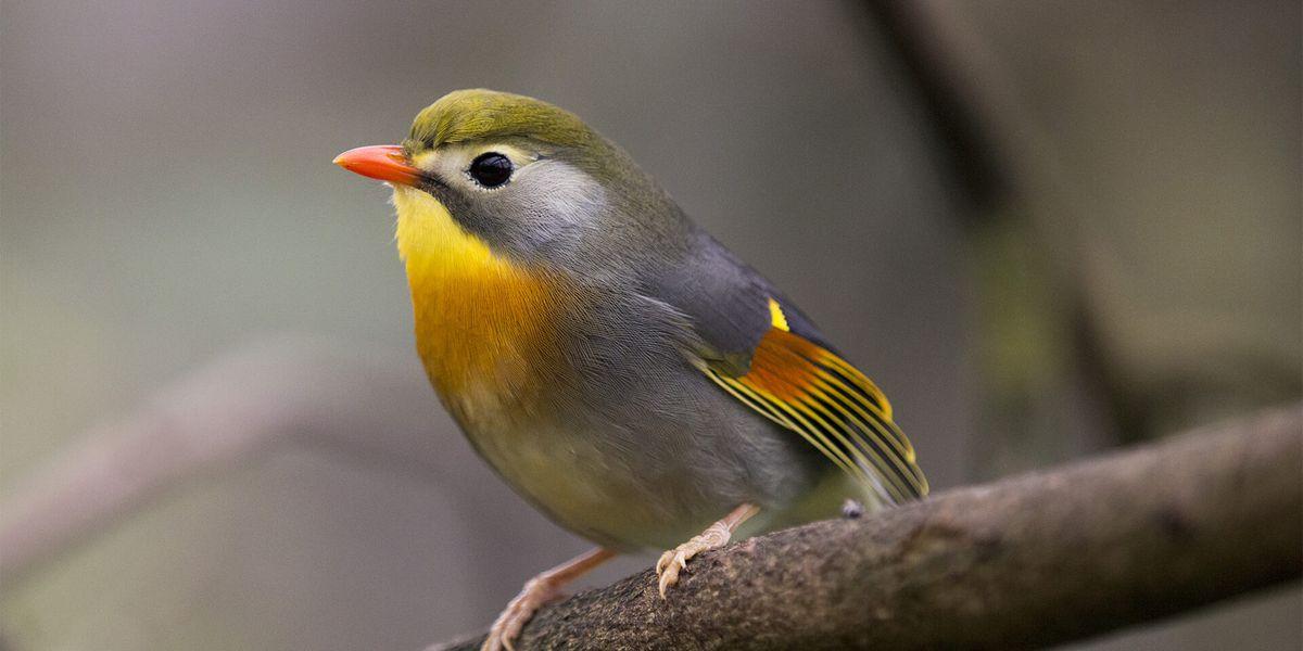 Léiothrix jaune - Les animaux de La Serre Tropicale des Oiseaux - ZooParc de Beauval
