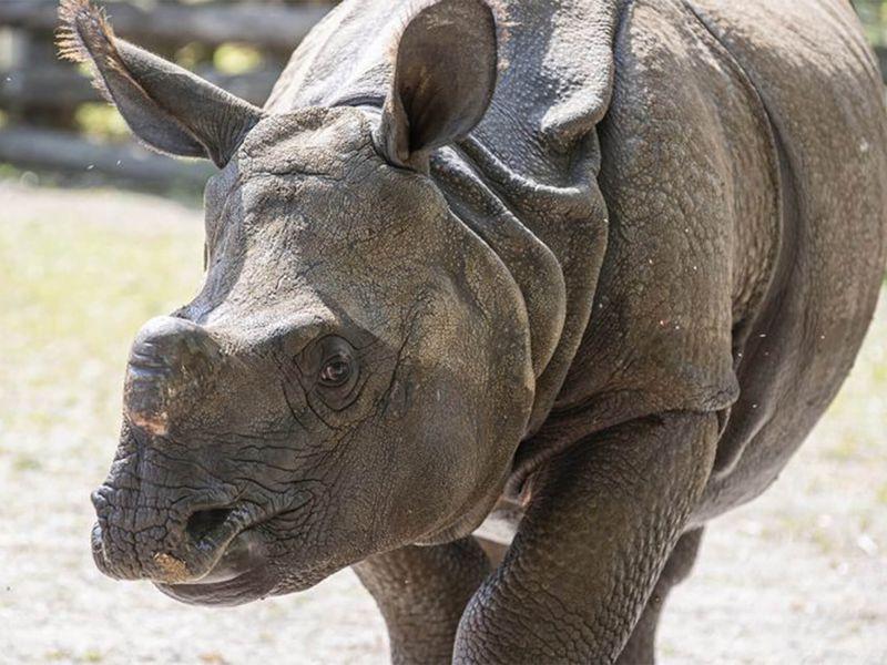 Gainda, notre rhinocéros indien - Les animaux de La Plaine Asiatique - ZooParc de Beauval