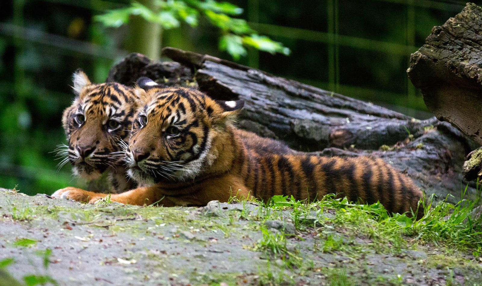 Tigres de Sumatra - Animaux extraordinaires du ZooParc