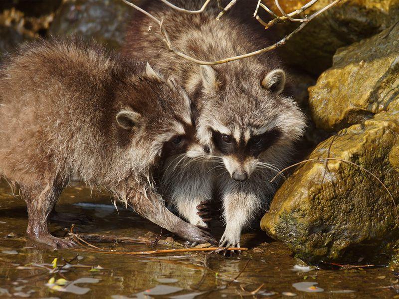 Ratons laveurs - Animaux extraordinaires du ZooParc