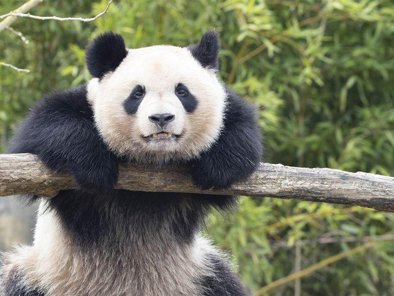Yuan Meng - Panda géant - Les animaux des Hauteurs de Chine - ZooParc de Beauval