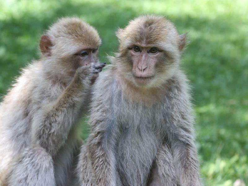 Sociabilité chez les magots - Les animaux des Allées des Petits Singes - ZooParc de Beauval