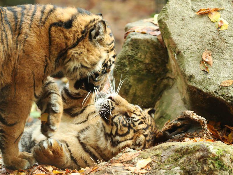 Bébés tigres - Les animaux du Bois des Fauves - ZooParc de Beauval