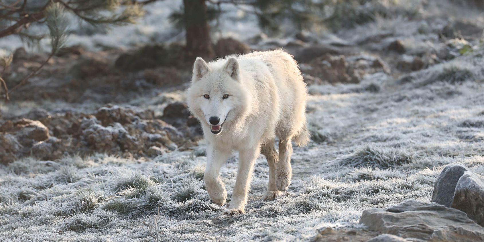 Loup arctique sur sol gelé - Les animaux du Territoire Nord-Américain - ZooParc de Beauval