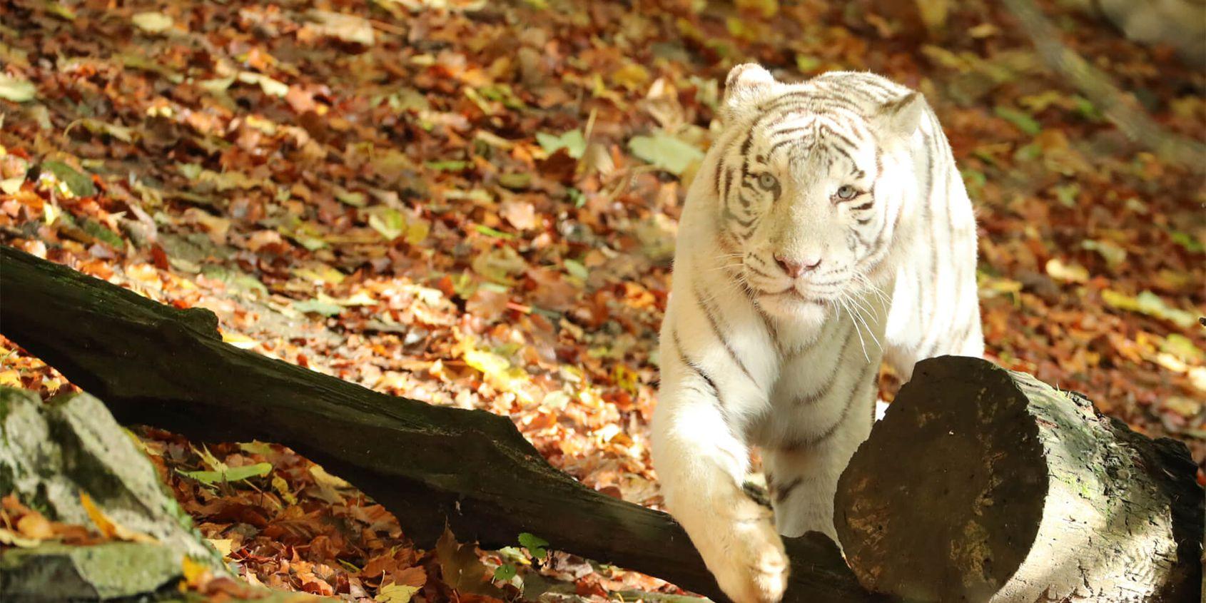 Tigre blanc - Les animaux du Bois des Fauves - ZooParc de Beauval