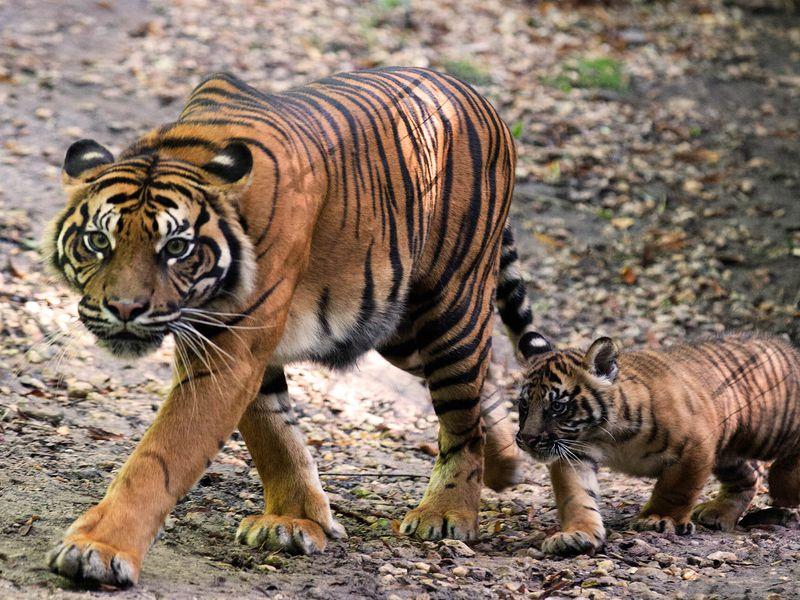 Tigre de Sumatra et son bébé - Animaux extraordinaires du ZooParc