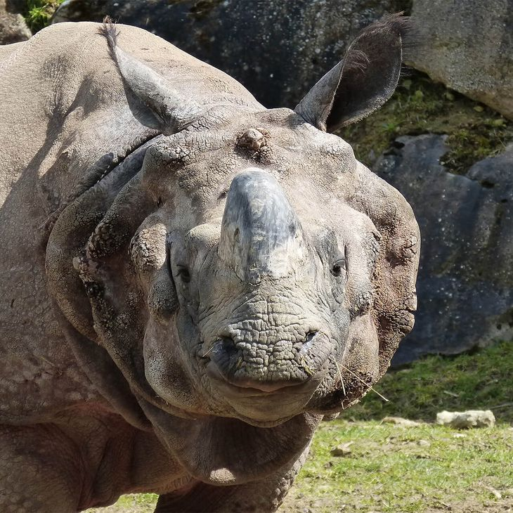 Rhinocéros indien - Animaux extraordinaires du ZooParc