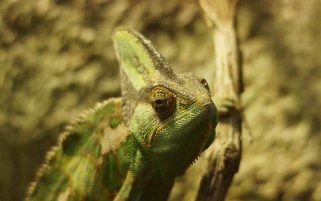 Caméléon casqué du Yemen - L'histoire du ZooParc