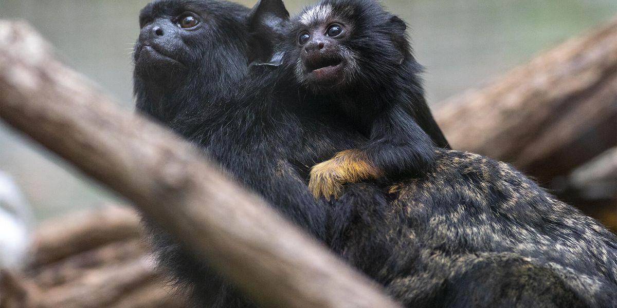 Tamarins à mains rousses - Les animaux de La Serre des Chimpanzés et Orangs-outans - ZooParc de Beauval