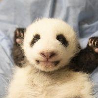 Fleur de Coton - Jumelle bébés panda - ZooParc de Beauval