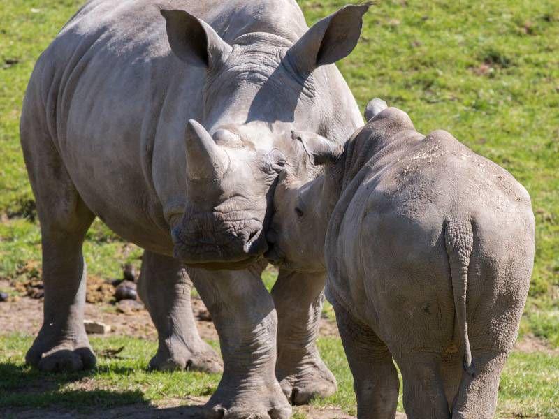 Rhinocéros blancs - Animaux extraordinaires du ZooParc