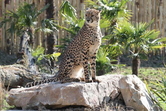 Guépard, un félin athlétique - Les animaux du Territoire des Guépards - ZooParc de Beauval