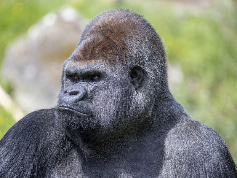 Asato, gorille dos argenté - Les animaux de la Serre des Gorilles - ZooParc de Beauval