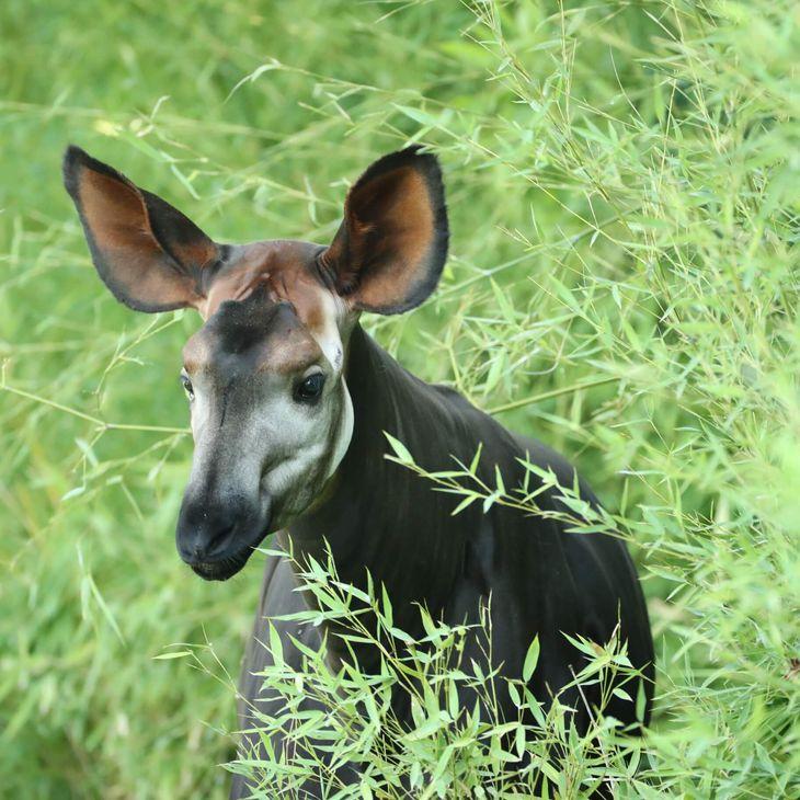 Okapi - Animaux extraordinaires du ZooParc