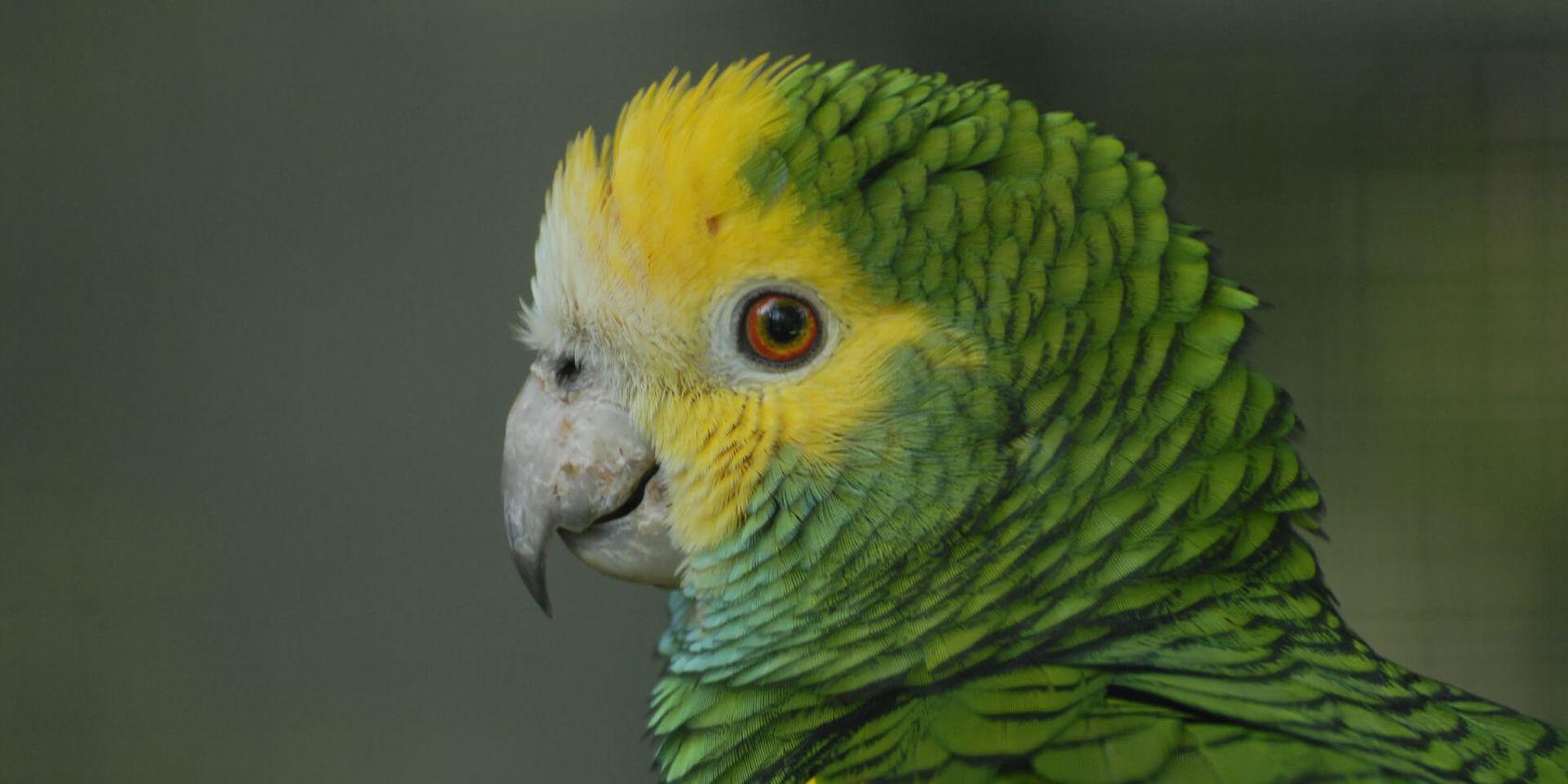 Amazone à tête jaune - Les animaux de La Rotonde des Perroquets - ZooParc de Beauval