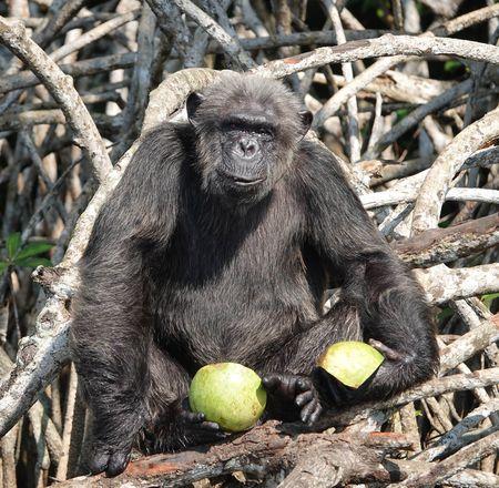 Programme de conservation de chimpanzés - Beauval Nature