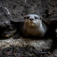Loutre naine - Animaux extraordinaires du ZooParc