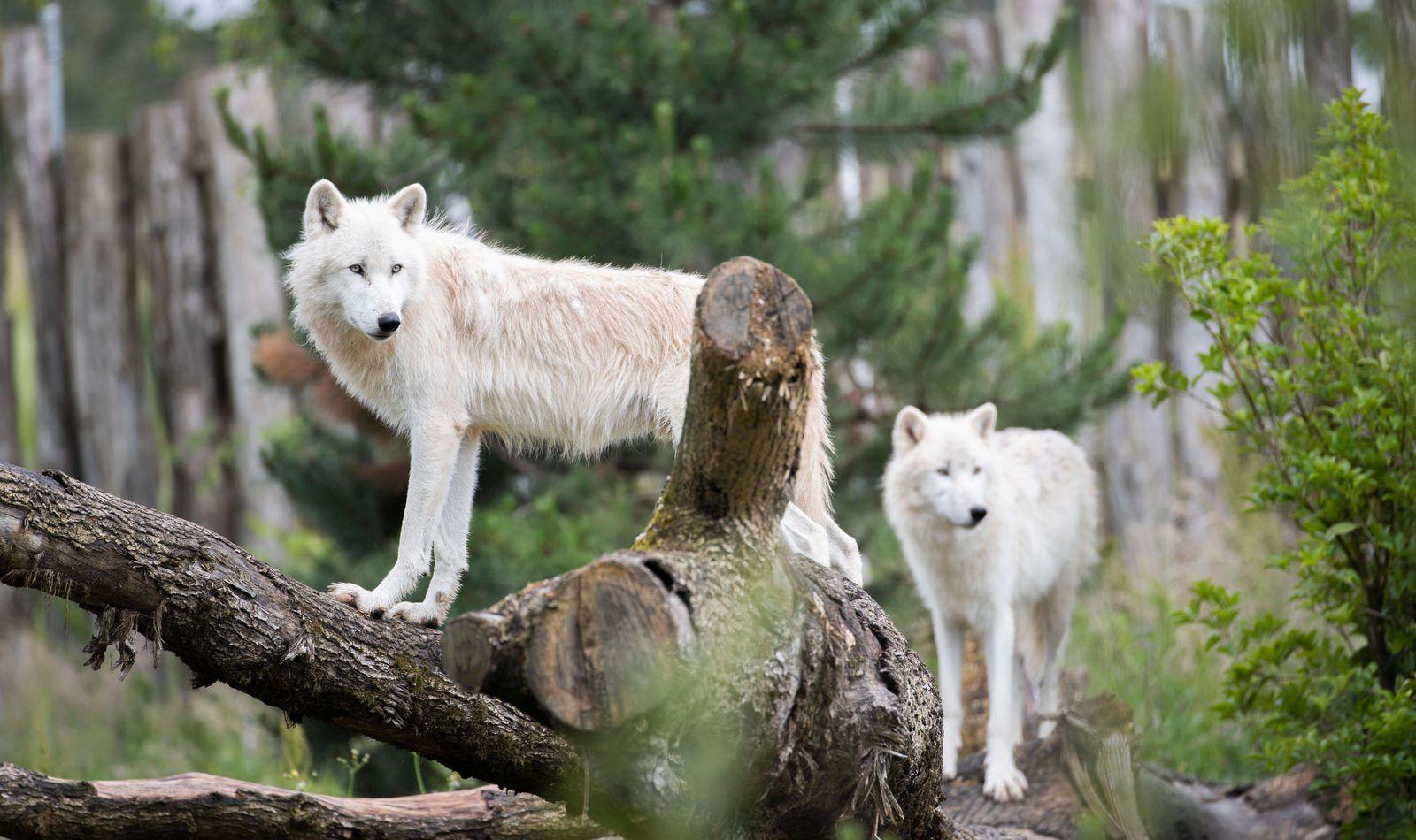 Loups arctiques - Animaux extraordinaires du ZooParc