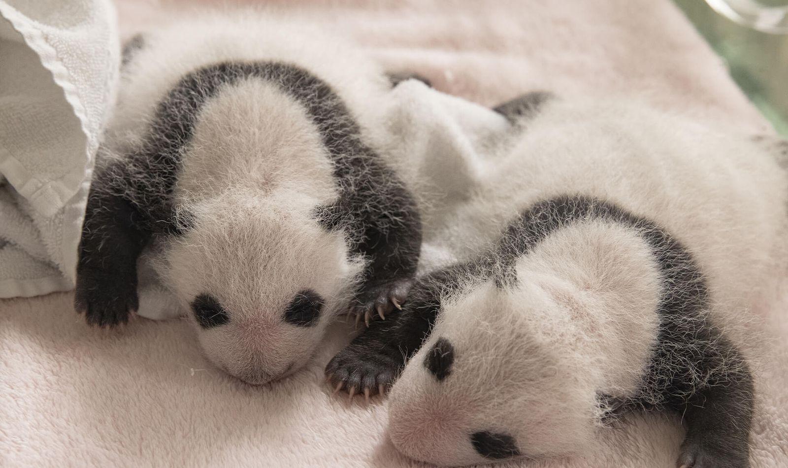 Parrainage jumelles panda - Beauval Nature - ZooParc de Beauval
