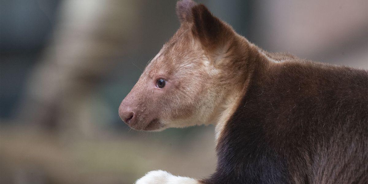 Dendrolague de Goodfellow - Les animaux de La Serre des Koalas - ZooParc de Beauval