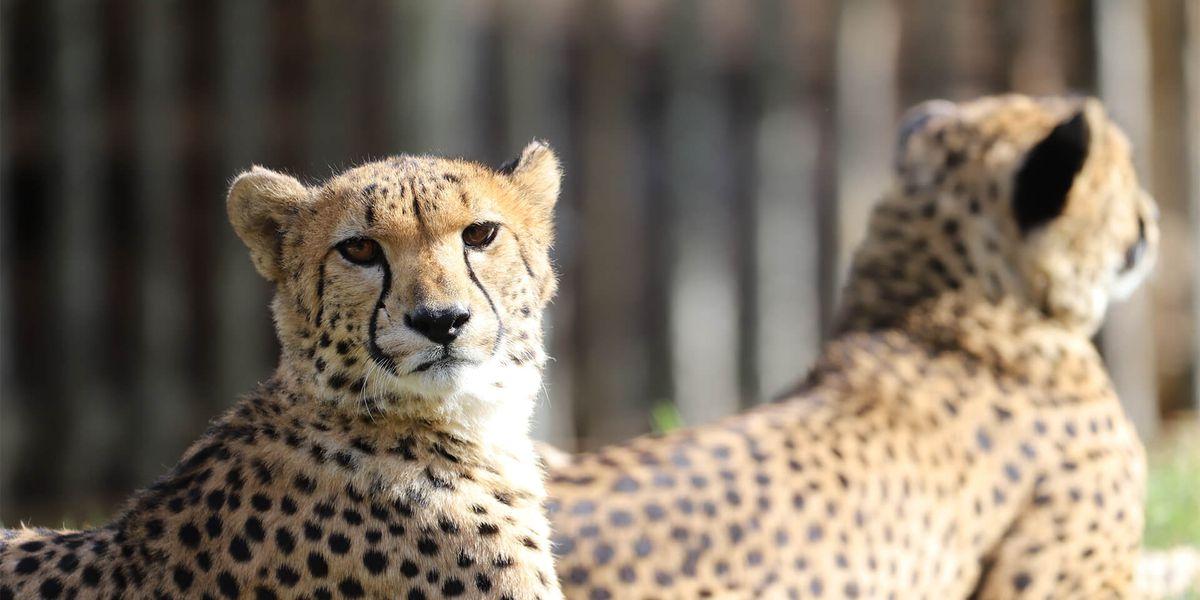 Guépards allongés - Les animaux du Territoire des Guépards - ZooParc de Beauval
