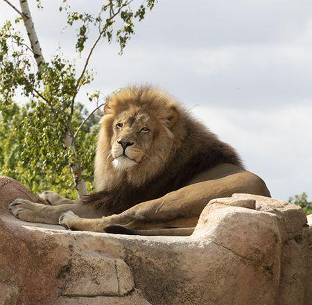 Les lions - Animation - Activité du ZooParc de Beauval