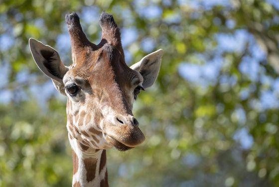 Rencontrez les girafes - Activité familiale Beauval en Coulisses - ZooParc de Beauval