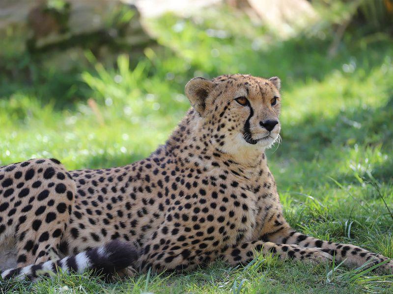 Guépard au repos - Les animaux du Territoire des Guépards - ZooParc de Beauval