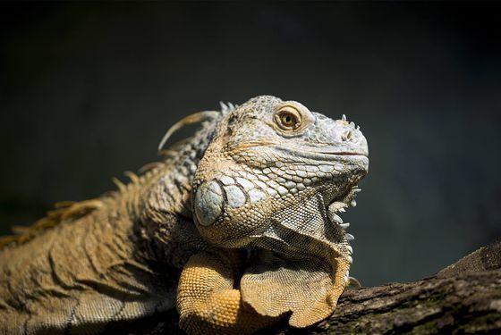 Iguane commun - Les animaux de La Serre des Chimpanzés et Orangs-outans - Vivarium - ZooParc de Beauval