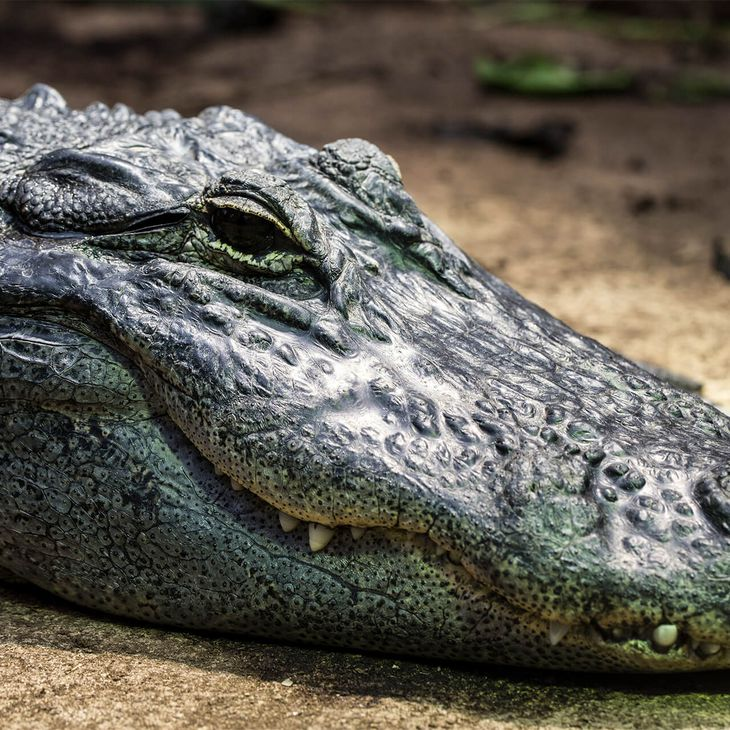 Alligator du Mississipi - Animaux extraordinaires du ZooParc