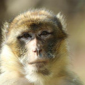 Magot - Animaux extraordinaires du ZooParc