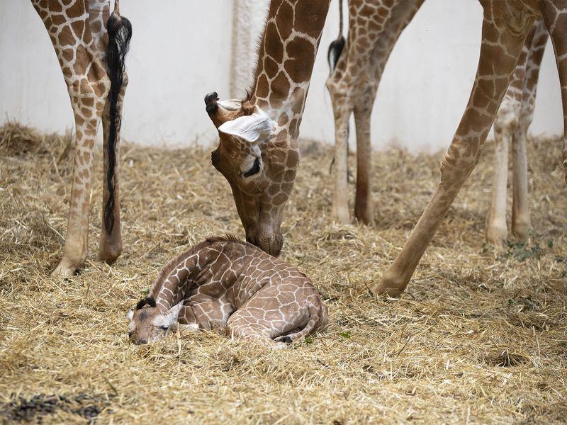 Kimia, bébé girafe