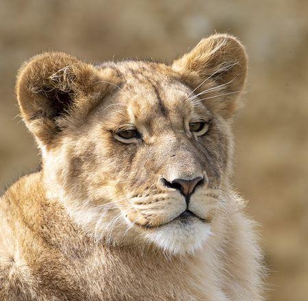 Animation enregistrée lions - Animation - Activité du ZooParc de Beauval