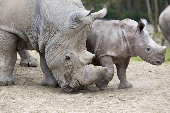 Étude de la gestation chez les rhinocéros blancs