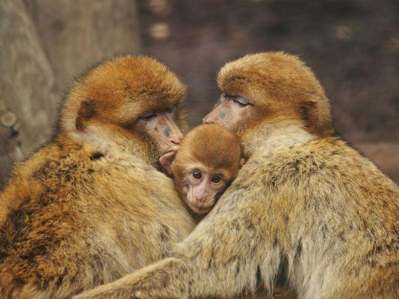 Magots - Les animaux des Allées des Petits Singes - ZooParc de Beauval