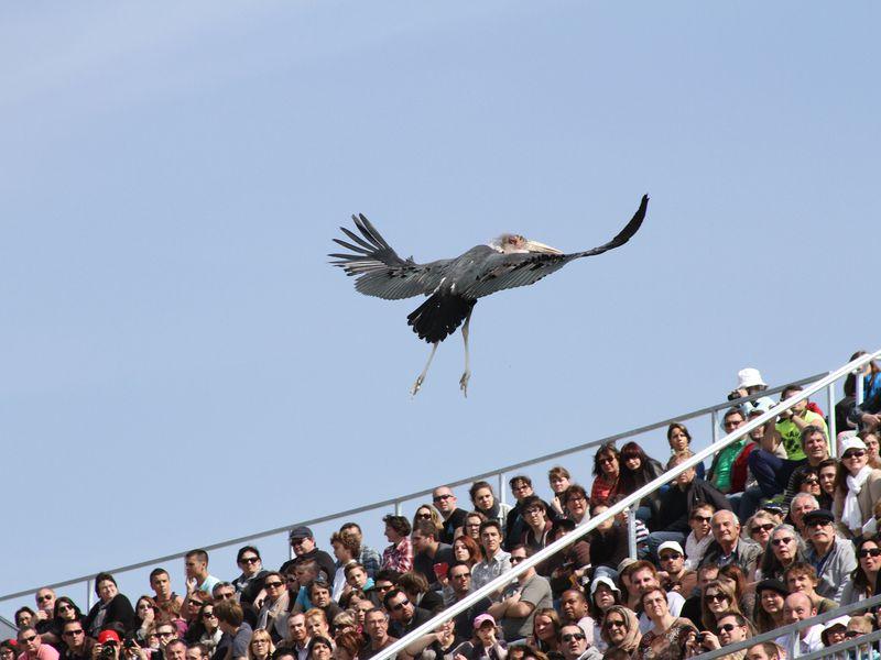 Marabout au dessus des gradins - Spectacle d'oiseaux - Les Maîtres des Airs