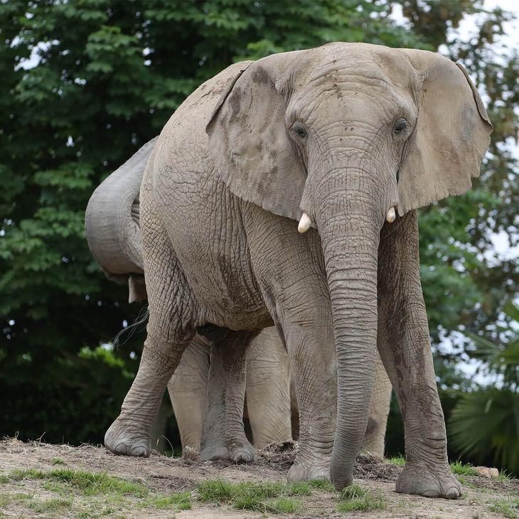 Visiter La Plaine des Éléphants - Éléphant d'Afrique - ZooParc de Beauval