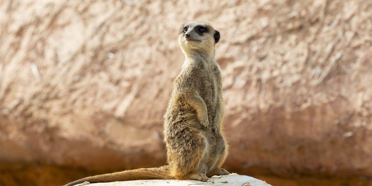 Suricate - sentinelle du désert - Les animaux de la Terre des Lions - ZooParc de Beauval