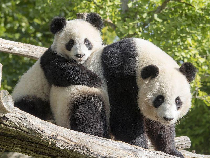 Huan Huan et Yuan Meng - Pandas géants - Les animaux des Hauteurs de Chine - ZooParc de Beauval