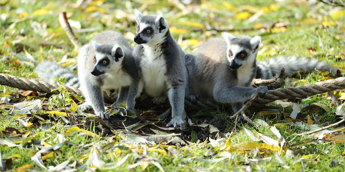 Makis cattas - Les animaux de L'Allée Historique - ZooParc de Beauval