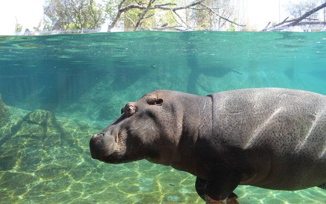 Hippopotame commun - L'histoire du ZooParc