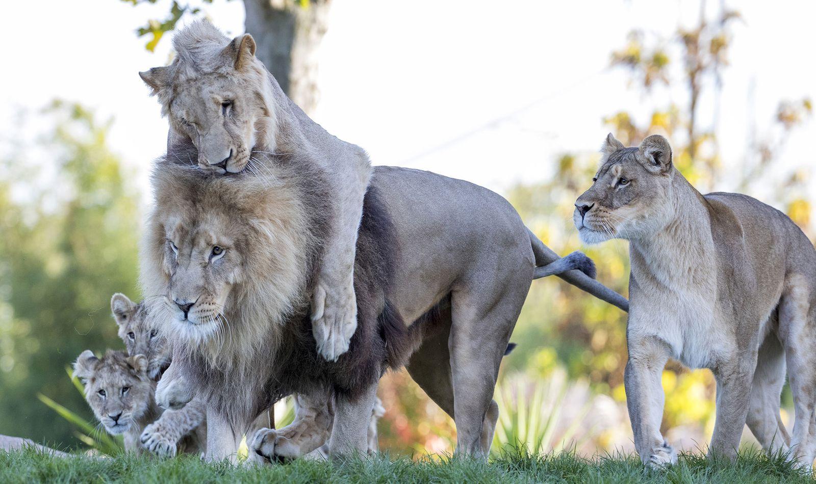 La Terre des Lions - Territoire du ZooParc de Beauval