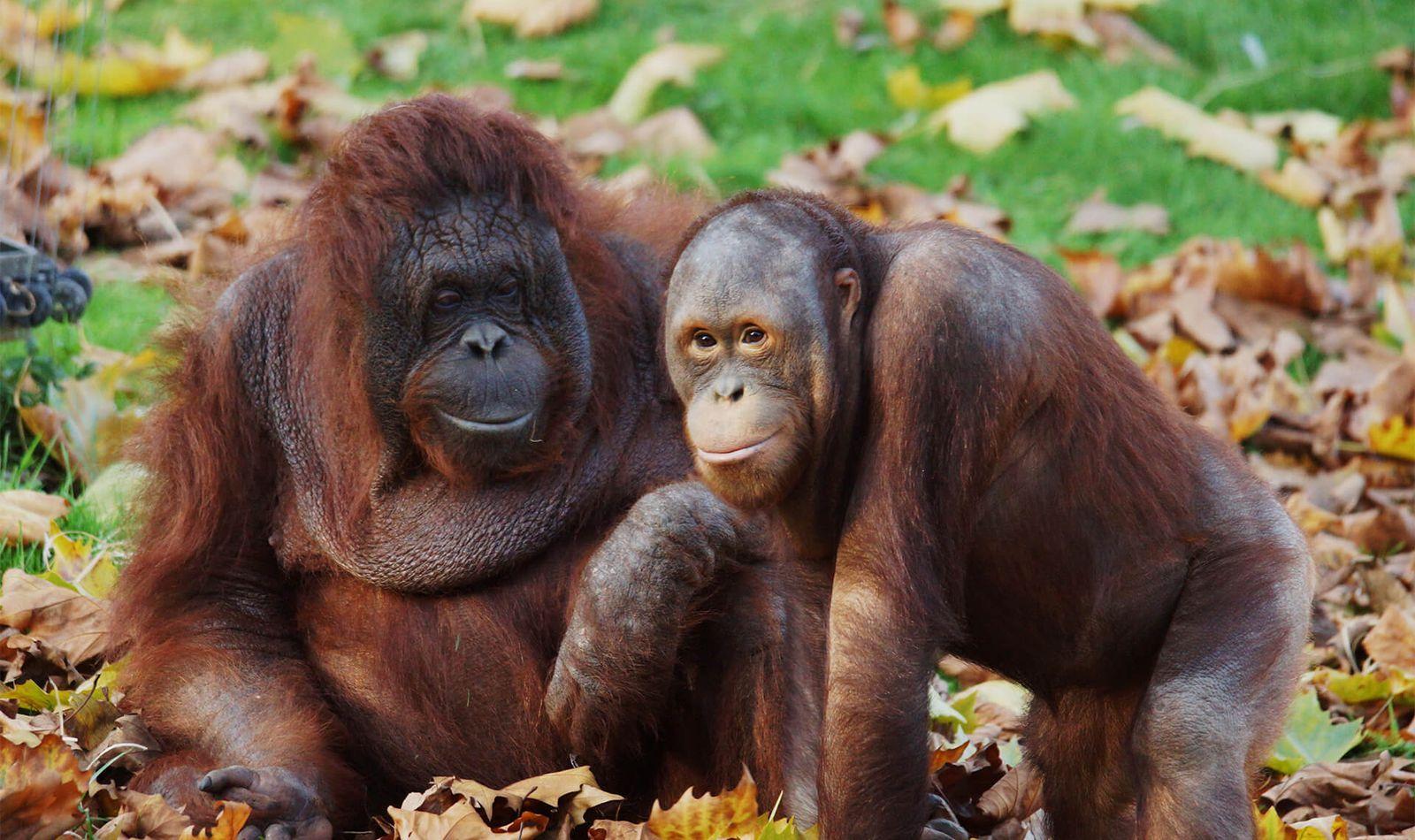 Orangs-outans - Animaux extraordinaires du ZooParc