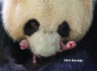 Panda twins - Animals of the ZooParc de Beauval