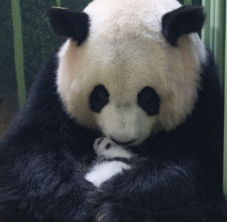 Jumelles panda 1 mois - ZooParc de Beauval