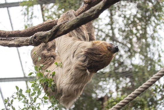 Paresseux à deux doigts - Les animaux de La Serre Tropicale des Oiseaux - ZooParc de Beauval