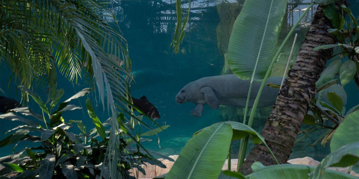Bassin lamantin - Les animaux du Dôme Équatorial - ZooParc de Beauval