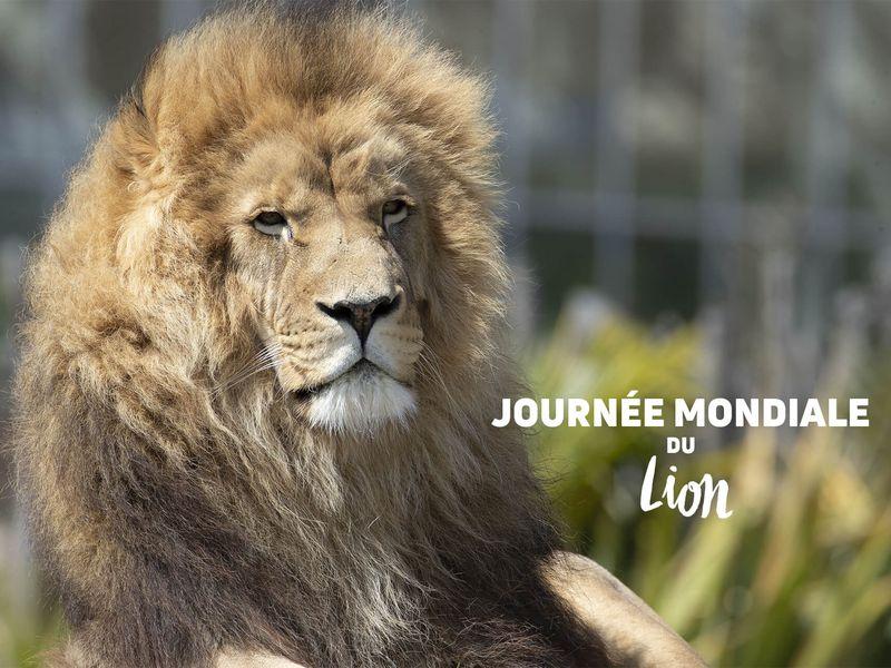 Krüger, le lion d'Afrique - Les animaux de La Terre des Lions - ZooParc de Beauval
