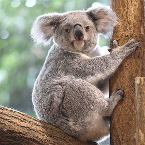 Koala - Animaux extraordinaires du ZooParc