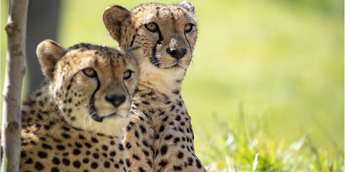2 frères guépards - Les animaux du Territoire des Guépards - ZooParc de Beauval